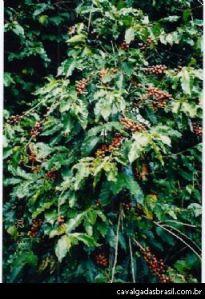 「金のなる木」といわれたコーヒーの木